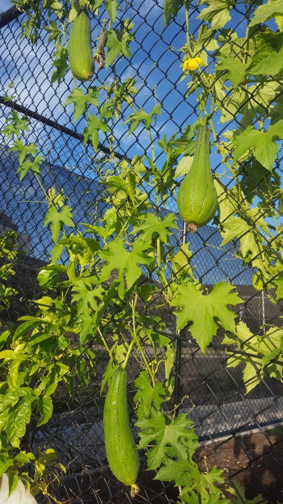 Luffa gourd on the vine